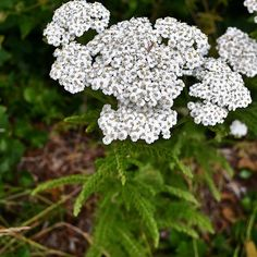Yarrow is perhaps best known for its wound healing properties. #Yarrow was used from the time of the Ancient Greeks up until the First World War to treat wounds, thus its common names soldiers' woundwort, staunch weed, nosebleed, woundwort, and carpenter's weed. No first aid kit is complete without yarrow for use as an #antiseptic and #styptic (stops bleeding). Yarrow is also #antibacterial, anti-inflammatory, #astringent, and analgesic, making it ideal for preventing infection, stopping…