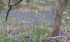 Check out this entry in #WhyILoveYorkshire competition  Photo caption: #chellow dene #bluebell woods. Pure beauty