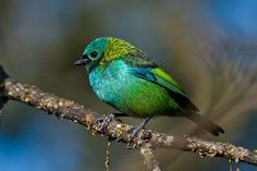 Green-headed Tanager | Flickr - Photo Sharing!