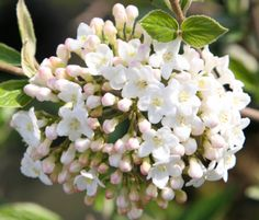 Viburnum x burkwoodii Domed clusters of fragrant white flowers in April and May, opening from pink buds, followed by red fruit, and glossy, dark green leaves. This Viburnum is one of the best scented varieties and is usually evergreen when the plant matures. To fully appreciate the fabulously fragrant flowers chose a partly shady border close to an entrance or path.