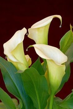 Few fresh cut flowers offer the elegance and versatility of the calla lily. If you are designing your own wedding bouquet, centerpieces or arrangements, the calla lily will provide all of the style… Calla Lily Flowers, Lilly Flower, Calla Lillies, Beautiful Flowers, Lilly Plants, Lily Care, Zantedeschia Aethiopica, Peony Care, Canna Lily