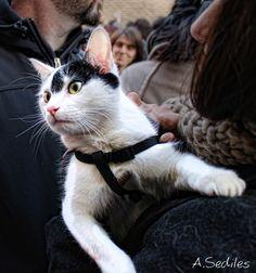 Otro gatito en la Fiesta de San Antón con preciosos Ojos. Iglesia de San Pablo.