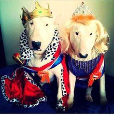 #English #Bull #Terriers