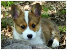 Hey, I found this really awesome Etsy listing at https://www.etsy.com/listing/153649540/4-dog-puppy-pembroke-welsh-corgi-dogs