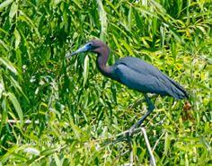 Little Blue Heron, Pinkney Island, near Hilton Head Island, SC