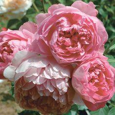 rose inglesi - Cerca con Google