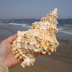 Marine Sea Decoration 20-25cm Big Conch Natural Ornament Shell Decoration Great Gift