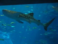 Churaumi Aquarium whale shark