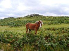 Dartmoor pony, (on Dartmoor!)