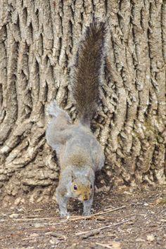 Gray squirrels at the EJC Arboretum.