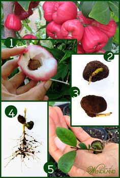 Surprisingly this Asian tropical fruit tree, Jambu Wax Apple, is easier to grow than you think!  If you live somewhere with mild winter or have a green house you can grow it quite easily!  All you need to know about growing this is on my blog.