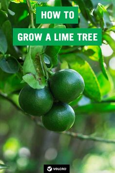 Find out how to grow a lime tree at home with our easy gardening tutorial. Learn how to grow lime trees in a pot or container, indoors or outdoors, to create a stylish houseplant or garden plant. An easy gardening… Continue Reading → Home Vegetable Garden, Fruit Garden, Garden Trees, Edible Garden, Easy Garden, Garden Plants, Gardening For Beginners, Gardening Tips, Organic Gardening