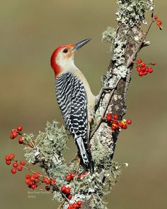 Red-bellied Woodpecker was last seen in Forest Park Queens, New York. It has a round head, red cap and a black-white striped back, with a mostly pale chest. Most Beautiful Birds, Pretty Birds, Love Birds, Animals Beautiful, Exotic Birds, Colorful Birds, Vogel Gif, Bird Aviary, Kinds Of Birds