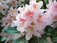 Thank you for taking a look at one of our several hundred Hybrid Rhododendrons we have for sale on Etsy and our website! At RhododendronsDirect.com, all we do is Rhododendrons!    Product Description    Bloom Color:  White and Light Purple    Bloom Season: Mid- Season    Plant Height(potential in 10 years): Seven Feet    Hardy to:  -10    Container Size/Age:  Two Gallon Plant -  These rhododendrons are typically rooting into a two gallon container or have spent one year as a field grown…