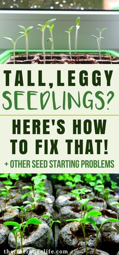 Having trouble starting seeds for your vegetable garden? Here's how to fix 4 common seed starting problems! | Posted by: SurvivalofthePrepped.com