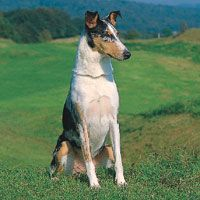 Smooth Collie dog photo | Use Plan-a-Pup to find your perfect pet