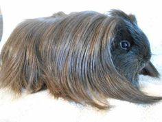 "Hoobly: Silkie Guinea Pig  ""fur real :)"""
