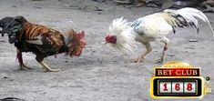 Situs Judi Sabung Ayam Online Terbaik, Situs Judi Sabung Ayam Online Terpercaya, Situs Judi Sabung Ayam Bonus Besar, Situs Judi Adu Ayam Online Keuntungan Besar, Situs Judi Sabung Ayam Online Live Accounting