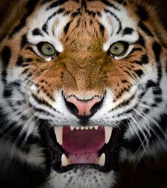 Siberian Tiger Roaring | Roar ~ Siberian Tiger by Alain Turgeon~~