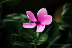 Periwinkle  - Photography by Anil Vyas at touchtalent