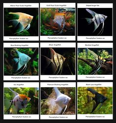 Angel fish breeds