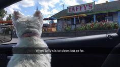 Cmon sis, can we pleaseeeee stop for a hotdog and a puppy sundae??? #taffys #hungry #milkshake #dog #dogsofinstagram #dogs #dogstagram #doglover #dogoftheday #doggy #doglovers #dogslife #doglife #westie #westiegram #westiesofinstagram #westies #westielove #westiemoments #westiesarethebest #westiepuppy #westielover #westietude #westielife #ilovemydog #ilovemylife #instadog #instagramdogs #puppylove #followme