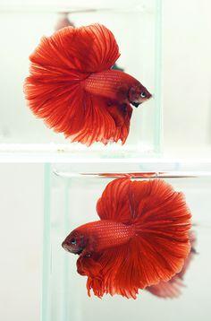 Red rosetail