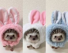 Cute Outfits Definitely an opportunistic eater, Hedgehogs is one of the most interesting pets nowadays. But, how much do you take care of them? And, what do hedgehogs eat? Animals And Pets, Funny Animals, Baby Hedgehog, Hedgehog Care, Cute Little Animals, Hamsters, Cute Animal Pictures, Cute Creatures, Animal Memes