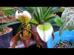 Orquídea babucha ( PAPHIOPEDILUM )