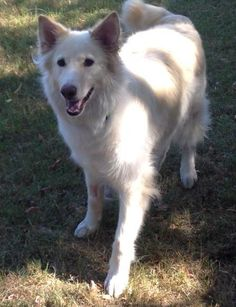 This dog is being fostered with New Hope Dog Rescue (Saskatoon).  If you are interested in adopting please fill our Adoption Application. Meet and greet are by appointment only.Hi, I'm Diego. I am a beautiful blonde lab/shepherd cross...