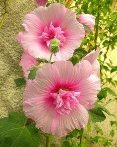 beautiful, hollyhocks, pink