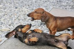 Funny Dachshund Pictures with Captions | 2Tacskó Fajtamentés - Dachshund Rescue Hungary...