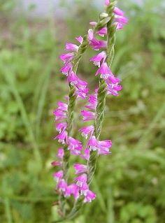 ねじりばな(ラン科) とっても小さな欄の花です。花が下から上へねじれてついているでしょ。野原で見かけたら、しゃがみこんで眺めてあげましょうね♪