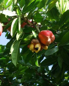 Ripe ackee ready to be picked and eaten in Grand Cayman