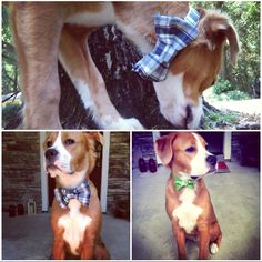 Hudson and Company: DIY Dog (or Cat) Collar and Bow-tie