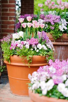 Container Flowers pink and purple flowers tulips in terra cotta pot Garden Bulbs, Planting Bulbs, Shade Garden, Garden Pots, Garden Ideas, Garden Shrubs, Spring Flowering Bulbs, Spring Blooms, Spring Flowers
