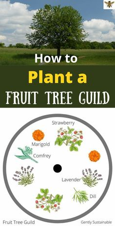"""Are your fruit trees performing as well as they could be? Do you feel that you could be getting more fruit? Or do you struggle with pests on your trees? You know there's a way to fix all of that, right? It's called a """"fruit tree guild"""" and it will correct many of the problems you're having with your fruit trees! Check out this simple, but amazing solution for your fruit trees! Organic Gardening Tips, Organic Fertilizer, Sustainable Gardening, Gardening Hacks, Vegetable Gardening, Amazing Gardens, Beautiful Gardens, Soil Improvement, Grow Your Own Food"""