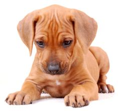 Adopt a purebred Rhodesian Ridgeback puppy today! VIP Puppies works with responsible dog breeders across the USA. Browse Rhodesian Ridgeback puppies here! Pets For Sale, Puppies For Sale, Dogs And Puppies, Chihuahua Dogs, Doggies, Rhodesian Ridgeback Puppies, Rottweiler Puppies, Large Dog Breeds, Dog Rules