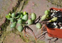 Home Garden Plants, Bonsai Garden, Home And Garden, Identify Plant, Hardy Plants, Seeds, Gardening, Natural, Board