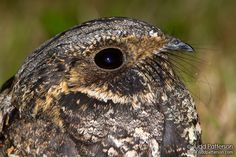 Google Image Result for http://leesbirdblog.files.wordpress.com/2010/06/whip-poor-will-caprimulgus-vociferus-by-c2a9judd-paterson.jpg, This cute little guy is a whippoorwill, I grew up listening to it's nightly call and    it's one of my fondest memories, i wish  they were still around our area, but alas i haven't heard one in years.