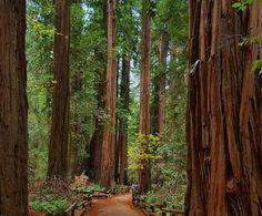 redwoods - Muir Woods National Monument, California
