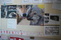 """L'école maternelle parraine même un loup gris, appelé TOTORO, qui fait partie d'un parc animalier """"Les loups du Gévaudan""""."""