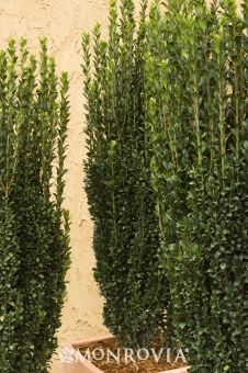 Ilex crenata 'Sky Pencil'. Evergreen.Great for a narrow area or as a tall accent.Moderate growing 6 to 8 ft. tall and 2 to 3 ft. wide