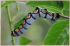 Caterpillars - Bing Images