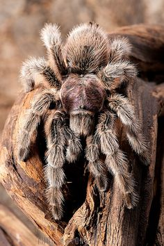 Chilean Rose Tarantula (Grammostola rosea) ~ By Thor Hakonsen Weird Insects, Bugs And Insects, Rose Hair Tarantula, Pet Tarantula, Tarantula Habitat, Tarantula Enclosure, Spiders And Snakes, Spider Queen, Les Reptiles