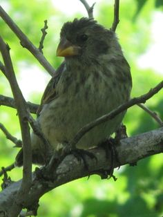 Galapagos Islands Birds   Medium Ground Finch. The 13 species of finches