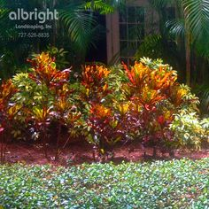 Xeriscape. Low maintenance tropical landscaping. Easy colorful landscape plants. Areca Palm trees, Variegated arbicola, Mammy crotons, with Asiatic Jasmine ground cover.