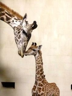 Greenville's new baby giraffe-kilo