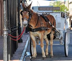 Mule drawn carriage.
