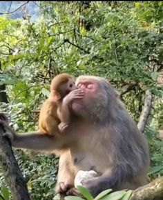 Monkeys use vocalizations, facial expressions, and body movements to communicate. Showing affection comes naturally. North West Province, Elephant Sanctuary, Living Environment, Create Awareness, Travel Videos, Primates, Cool Things To Make, This Is Us, Africa
